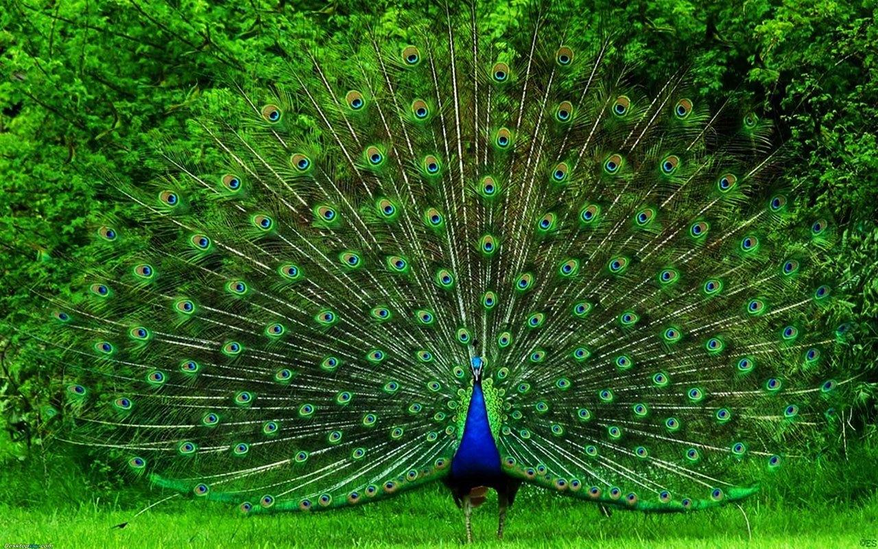 peacock-hd-wallpaper-fullscreen-fresh-images
