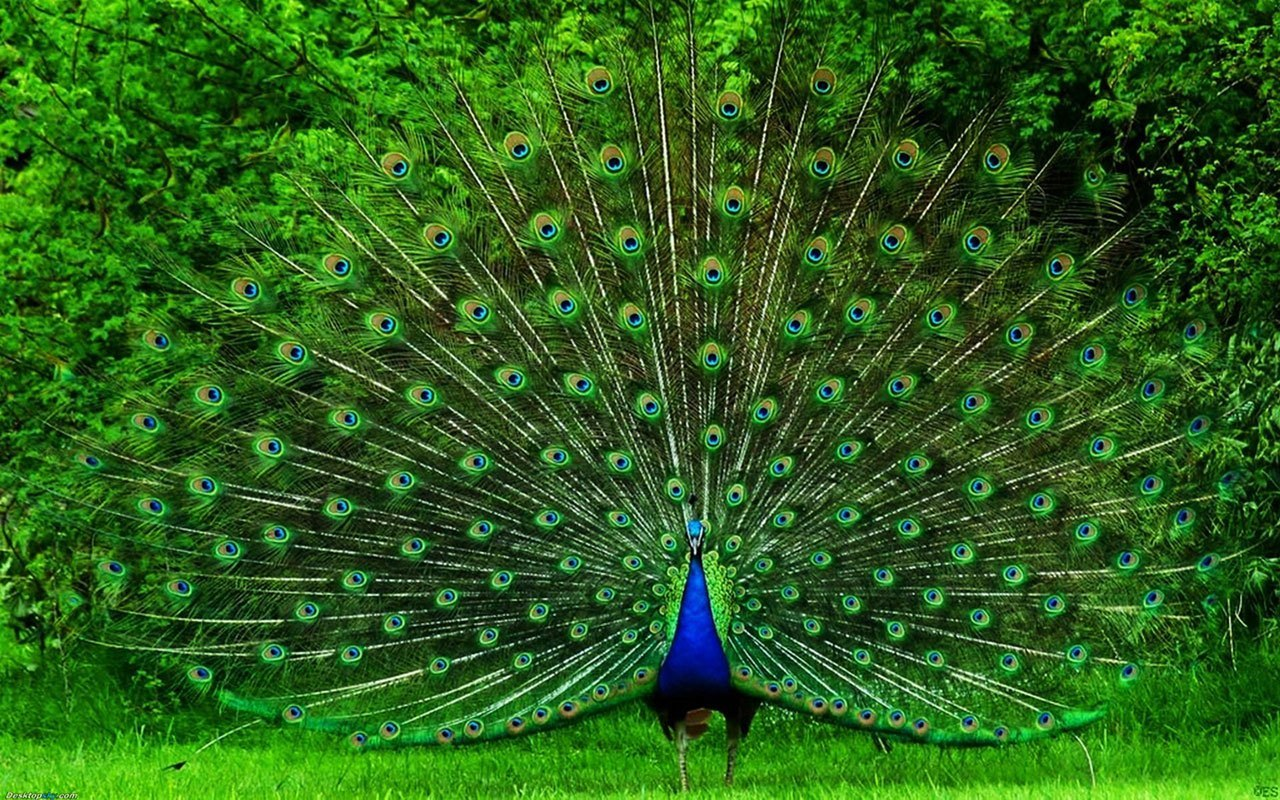 peacock-hd-wallpaper-fullscreen-fresh-images