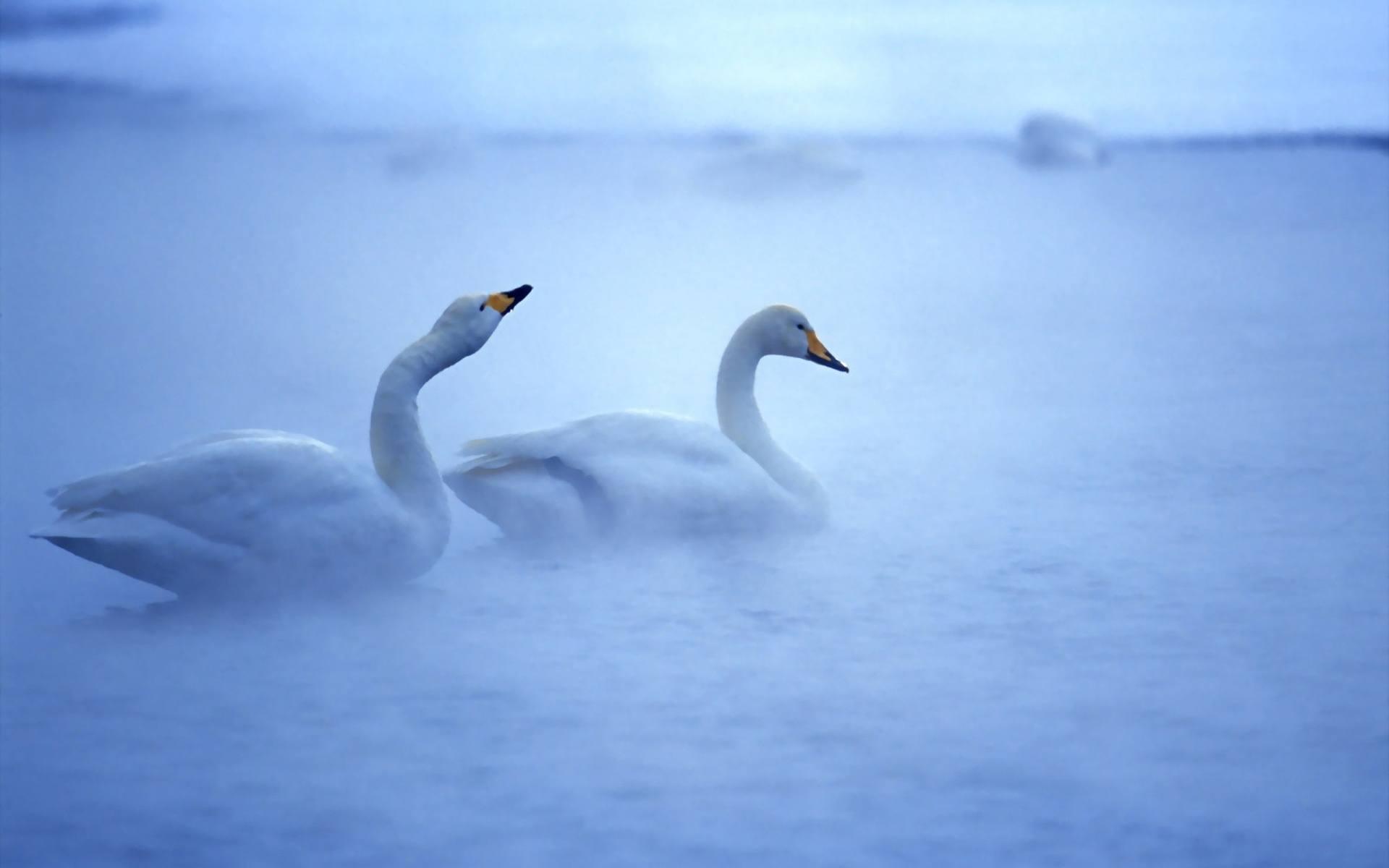 swans-Morning-Fog-1920x1200